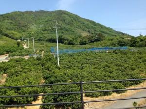 """Ikuchi-jima is called """"Lemon island""""2"""