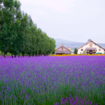 Lavender Furano, Hokkaido