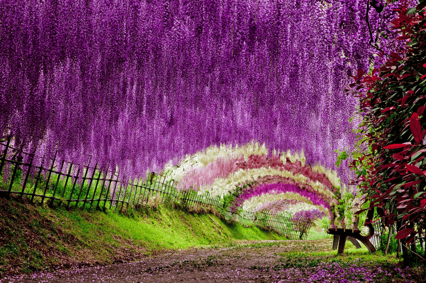 fuji, wisteria