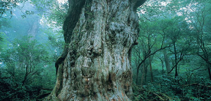 Yakushima 屋久島, the UNESCO World Natural Heritage site