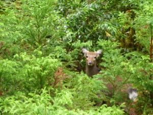Yaku-shika (Yakushima deer)