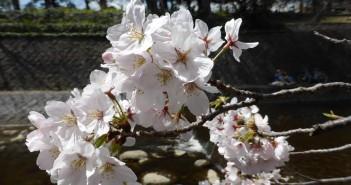 Sakura 2016 in Shukugawa