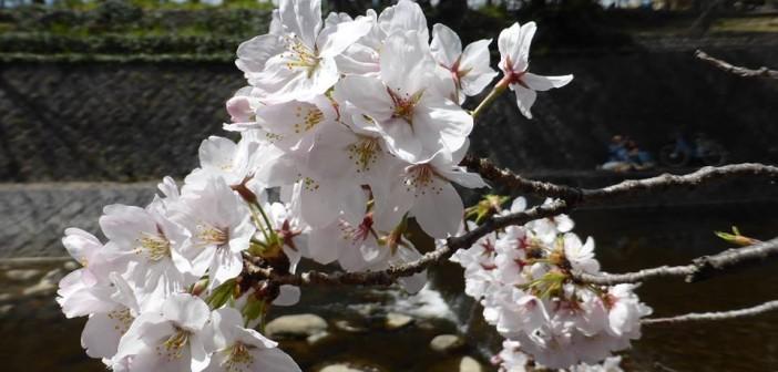 Sakura 2016 Spring ~Cherry blossom in Japan~