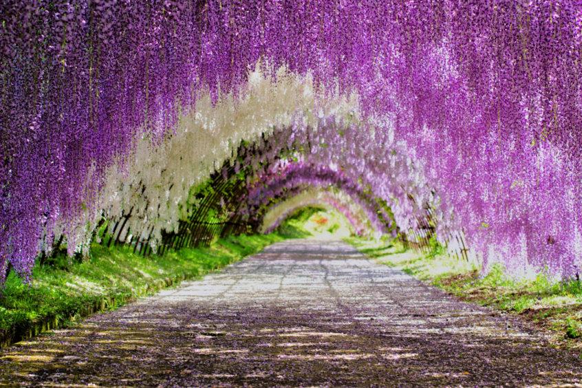 Fuji Wisteria Tunnel