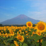 fuji sunflower field
